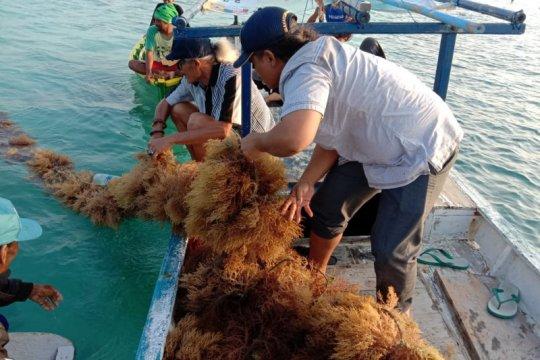 Pengamat ingatkan industrialisasi rumput laut bukan jalan instan