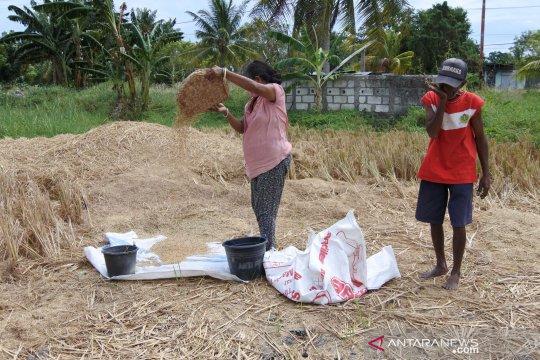 Mulai panen, Pemkab Kupang jamin stok pangan aman selama COVID-19