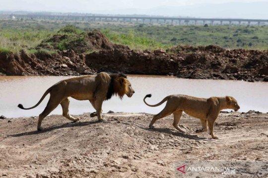 Gelagat singa sebelum musim kawin di Taman Nasional Nairobi Kenya