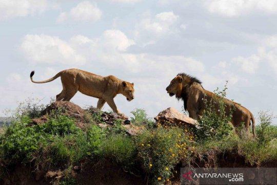 Delapan singa di India positif COVID-19