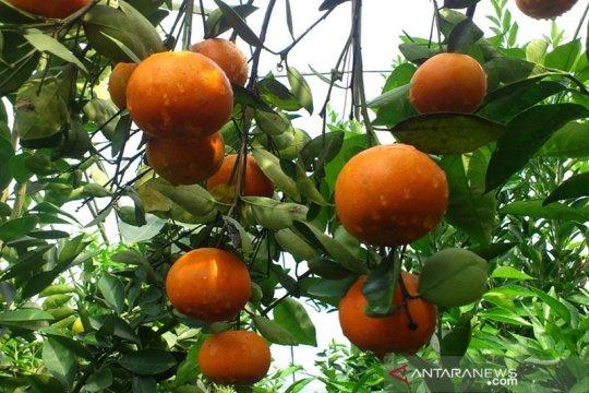 Balitbangtan sebut jeruk Indonesia siap bersaing dengan jeruk impor