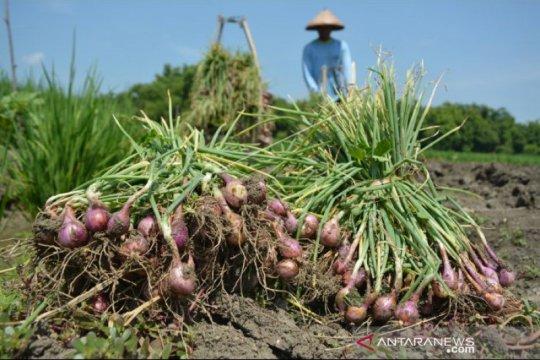Mentan panen raya bawang merah di Bima pastikan produksi tercukupi