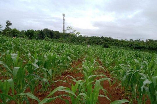BPTP Banten tingkatkan produksi jagung di lahan kering