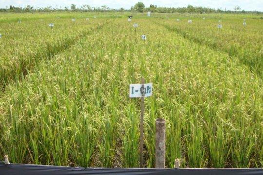 Tingkatkan produksi pangan, Balitbangtan siap optimalkan lahan gambut