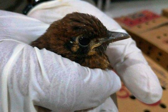 BBKP Surabaya gagalkan penyelundupan ratusan burung punglor