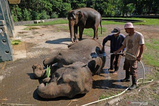 Perawatan gajah TWC Borobudur