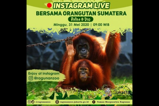 Wisata virtual Ragunan minggu ini hadirkan pasangan Orangutan Sumatera