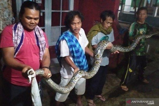 Warga Cianjur tangkap ular sanca sepanjang 4,5  meter