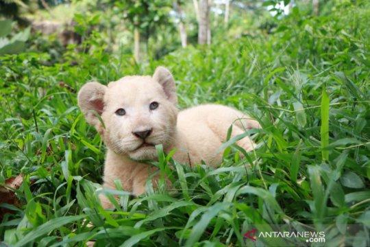 Gisel, bayi singa putih penghuni baru TSP di tengah pandemi COVID-19