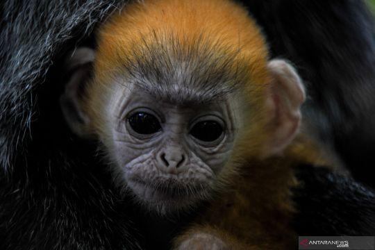 Kehadiran anak Lutung Jawa di Bandung Zoo
