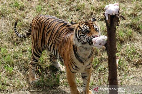 Upaya konservasi Harimau Sumatra