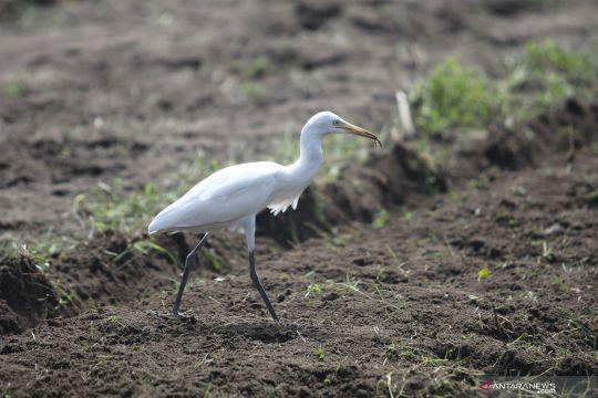 Keberadaan burung kuntul kecil untungkan petani