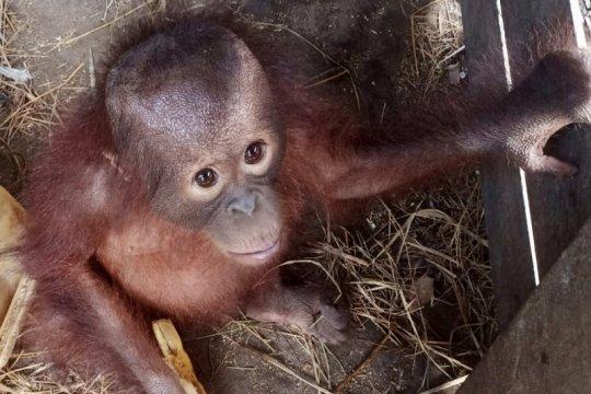 Warga serahkan bayi orangutan ke BKSDA Kalimantan Timur
