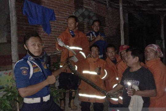 Dalam semalam, Damkar evakuasi dua ekor ular piton tiga meter
