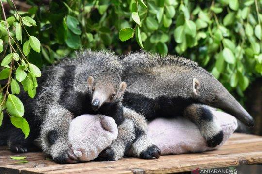 Bayi trenggiling kembar di Taman Safari Chimelong, Guangzhou