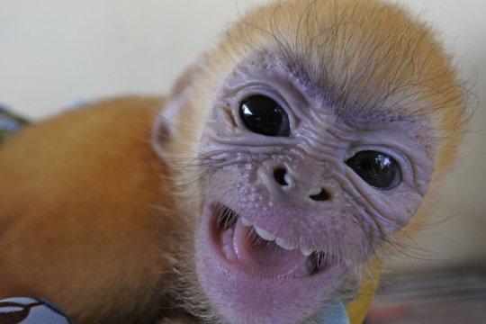 Vietnam uji coba vaksin COVID-19 pada monyet