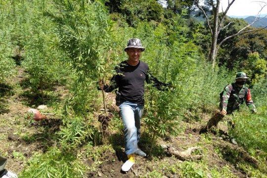 BNNP Sumut musnahkan 8 hektare ladang ganja di Mandailing Natal