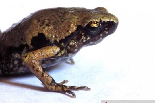 Peneliti LIPI temukan katak mini dari selatan Pulau Sumatera