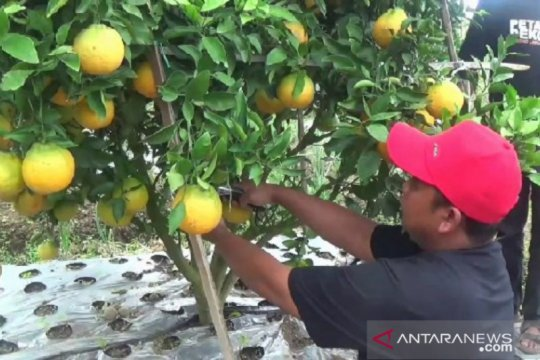 Warga Magetan budi daya jeruk dekopon beromzet puluhan juta rupiah