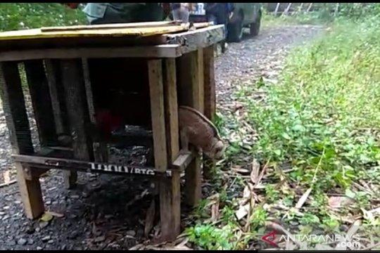 Kukang dan elang brontok dilepasliarkan di TWA Bukit Kaba