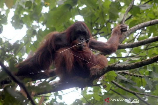 Orangutan Sumatera muncul di Danau Lau Kawar Kabupaten Karo Sumut