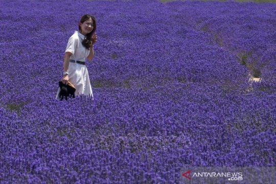 Pesona ladang lavender di Uighur Xinjiang