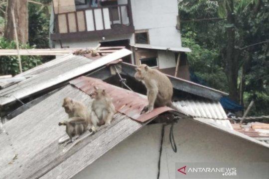 Kawanan monyet liar masuk ke permukiman warga Lembang, Bandung Barat