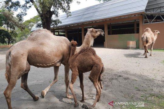 Dovir Olan jadi nama bayi unta di Taman Satwa Taru Jurug