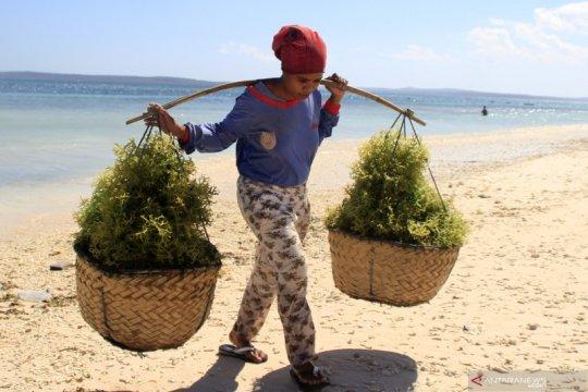 Petani rumput laut di Kabupaten Kupang