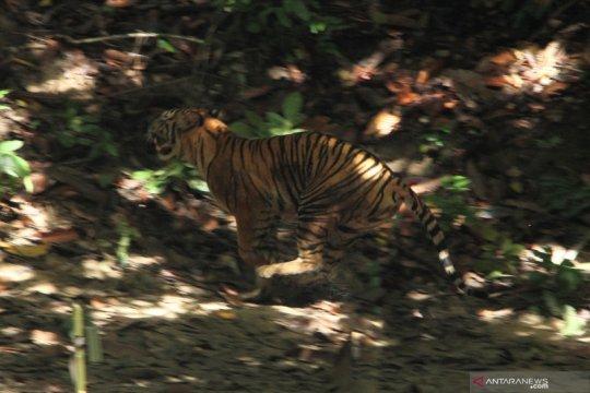 Pelepasliaran Harimau Sumatra di Taman Nasional Gunung Leuser