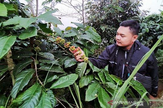 Permintaan turun, petani kopi Kulon Progo jual kopi secara daring