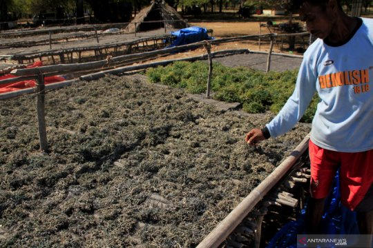 PLN tunggu hasil uji laboratorium terkait rumput laut petani Kupang