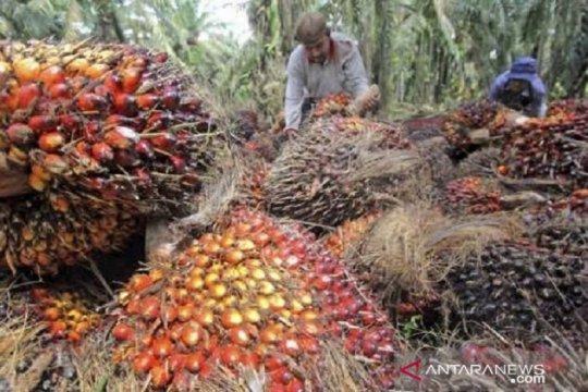 Harga CPO di Jambi naik Rp199, tembus di atas Rp7.000/kg