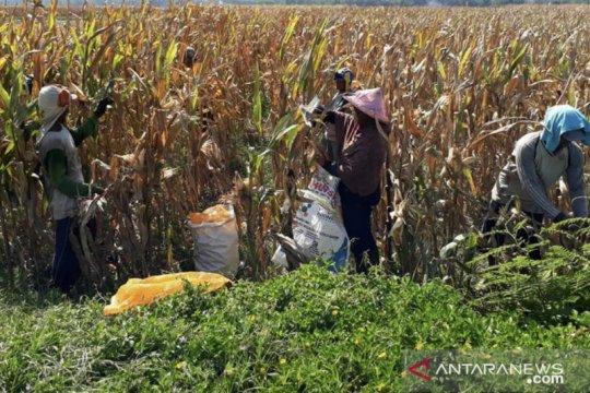 Jember jadi percontohan penerapan konsep pertanian cerdas iklim
