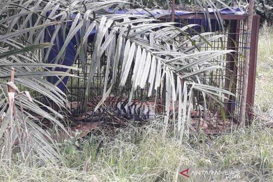 BKSDA dan masyarakat kembali tangkap harimau Sumatera di Solok