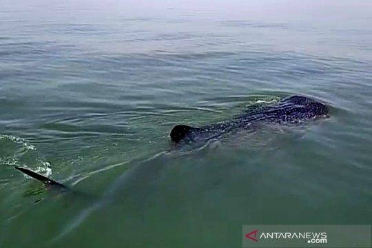 Wisata hiu paus, KKP ingatkan hindari perilaku tak patut