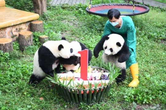 Pesta ulang tahun empat ekor panda