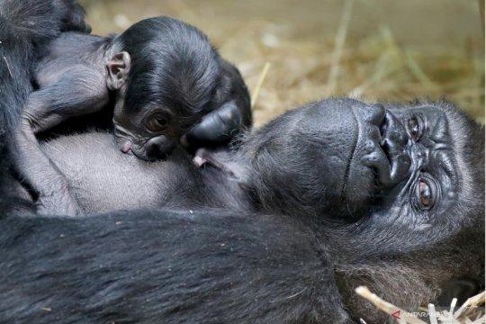 Mambele, induk gorila melahirkan di Kebun Binatang Antwerp