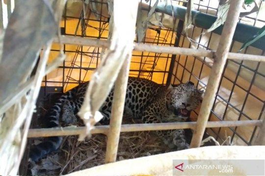 Warga tangkap macan tutul di kaki Gunung Sawal Ciamis