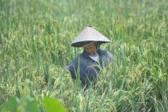 Sumatera Selatan target tiga besar penghasil beras nasional