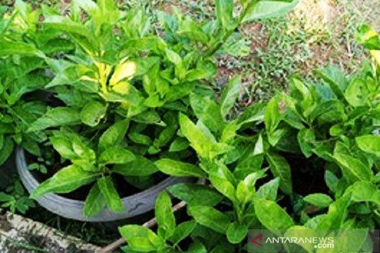 Balitbangtan: Sambung Nyawa tanaman liar dengan manfaat kesehatan