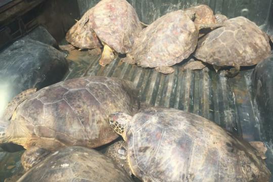 Polda Bali tangkap terduga pelaku penjual daging penyu hijau