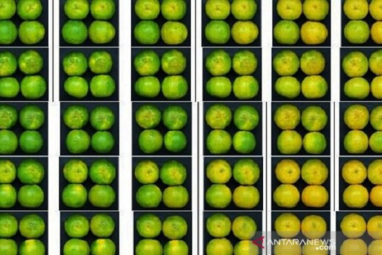 Teknologi degreening Balitbangtan jaga rasa dan tampilan jeruk keprok