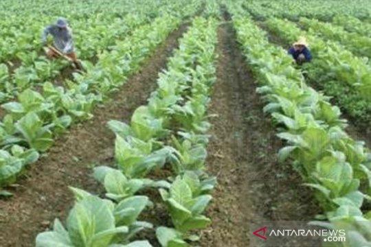 Disperindag tetapkan biaya pokok produksi tembakau Madura. Berapa?