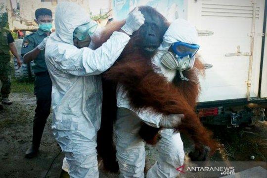 Orangutan di Sampit sempat kejar petugas sebelum dilumpuhkan