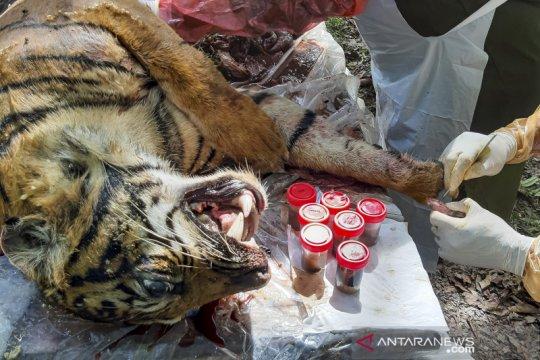 Pemeriksaan kematian harimau sumatera di Aceh Selatan