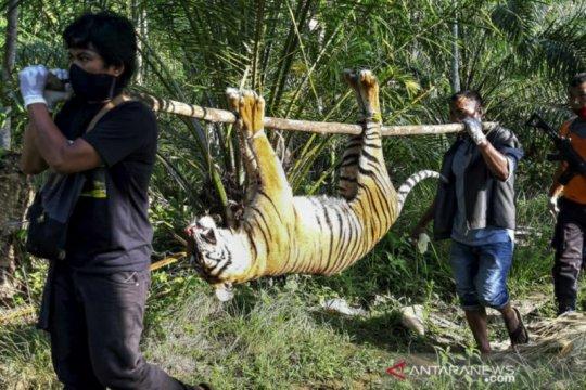 Kemarin, arahan Presiden soal COVID-19 hingga harimau Sumatera diracun