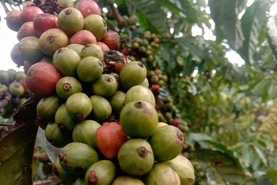 Potensi komoditas kopi di Dataran Tinggi Napu