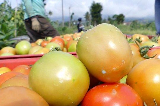 Petani tomat meraup untung jutaan rupiah
