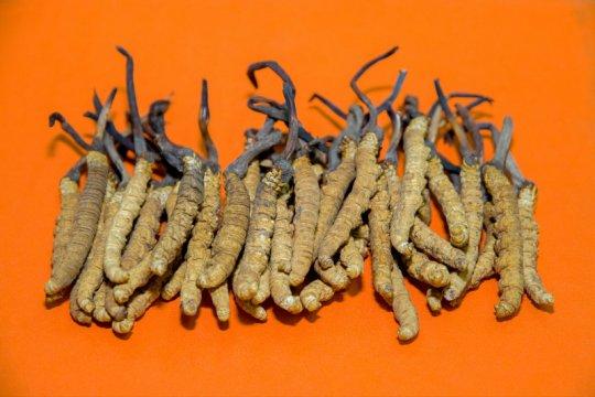 Cara terbaik konsumsi Jamur Cordyceps